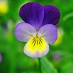 Heartsease Pansy