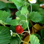Alpine strawberry
