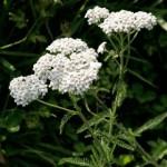 Yarrow – Achillea millifolium