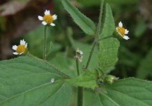 galensogaflowers