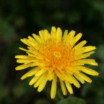Dandelion – including how to make Dandelion Coffee