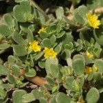 Purslane – hugely nutritious