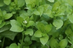 Lush chickweed plants