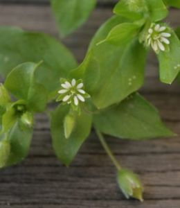 Chickweed with little star flowers and buds