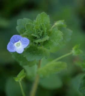 Speedwell pretty blue flowers speedwell flower seedpod mightylinksfo