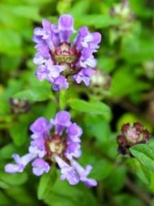 Self heal flowers
