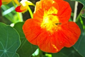 nasturtium flower with bud showing part with nectar