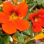 Cool to touch, Hot to Taste – Nasturtium