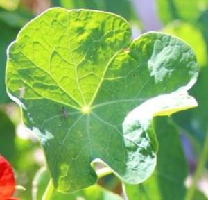 Nasturtium leaf with gold rim