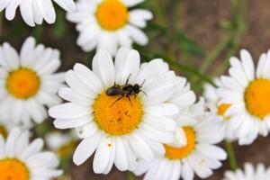 Oxeye daisy with mason wasp