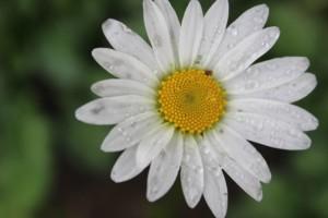 oxeye flower