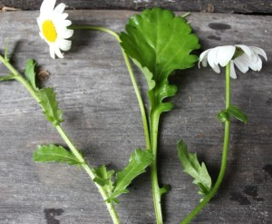 Oxeye daisy flower, leaf hugging small leaflets and young leaves