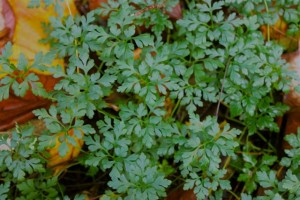 Lush Herb Robert leaves