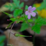 Healing with Herb Robert