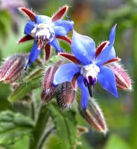 Bright blue borage flowers
