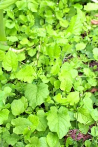 Nipplewort microgreens