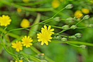 nipplewortflowering