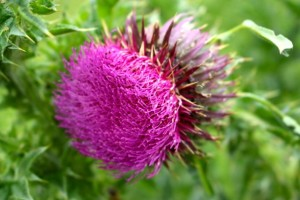 Beautiful nodding thistle flower