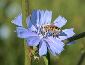 Honey bee with blue pollen on chicory flower