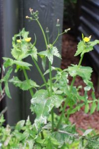 Flowering puha