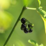 Deadly or delicious? Black Nightshade